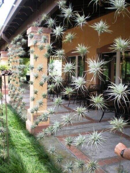 Floating vertical garden. Tillandsia (air plant) absorbs nutrients and water through leaves, roots anchor.