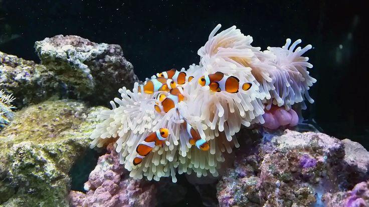L'incroyable relation entre le poisson-clown et l'anémone des mers