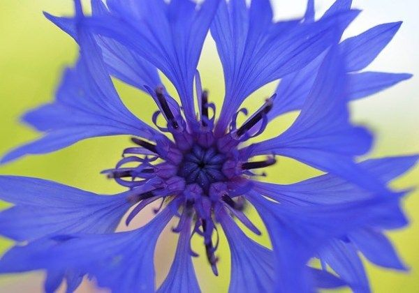 Cornflower 49221 640 Learnenglish English Vocabulary Englishteacher Esl S Ingles Grammar Ielts S British Wild Flowers Flower Images Free Violet Flower