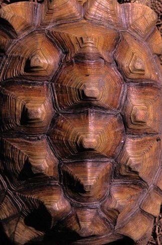 'fractal' Turtle shell
