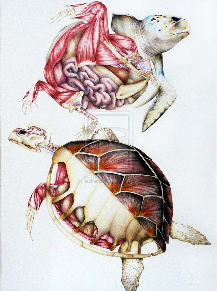 Sea turtle anatomy by hackamore.deviantart.com on @deviantART