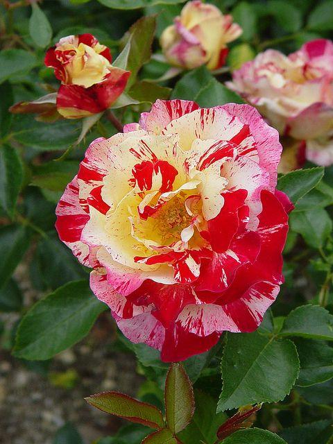http://www.pinterest.com/opalmassey/laughter-of-flowers-~/ Rose Camille Pisarro