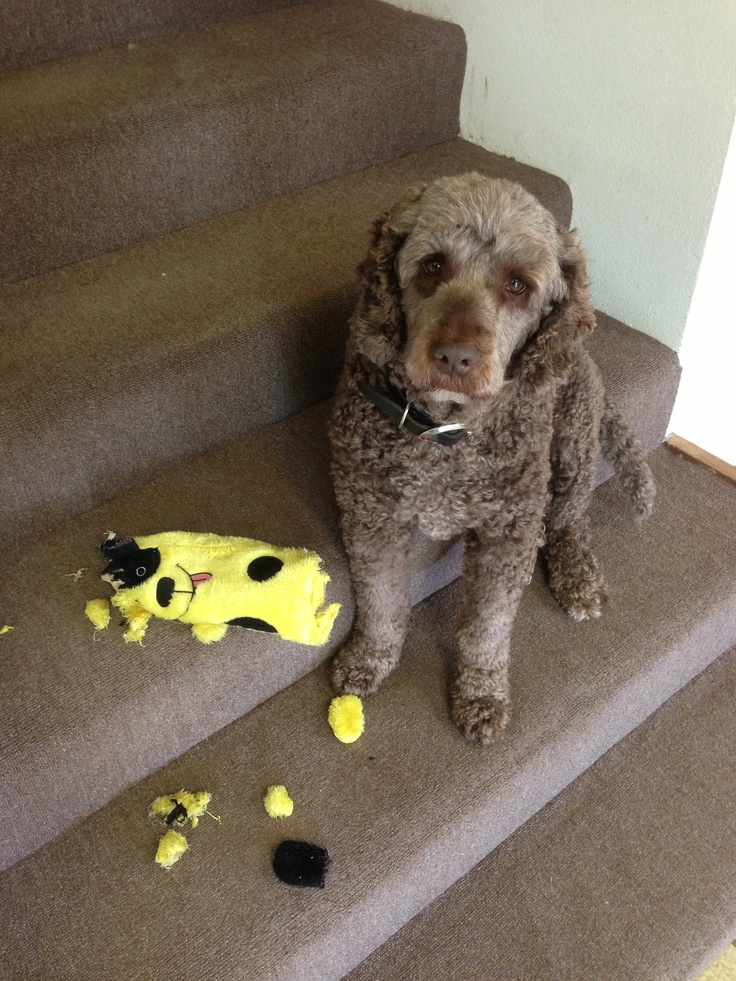 new toy lasted 4.5 minutes :/ #labradoodle #dog #doodle #toy #destruction