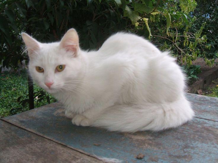 Gatos Angorá Turco. GatosMania.com