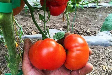 Tratamente bio pt cultura de rosii - Cultura de roșii bio poate fi o adevărată provocare pentru cultivatori având în vedere că tomatele sunt predispuse unor boli foarte păguboase cum ar fi mana sau putregaiul cenușiu. Cu toate ac