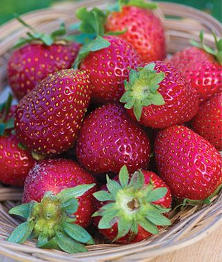 Strawberry, Elan F1  bears fruit from July to October: Burpees Com Fruit, Everbear Strawberries, Drinks Strawberries, F1 Fruit, Fruit Plants, Burp Dreams, Elan F1, Bears Fruit, Dreams Gardens