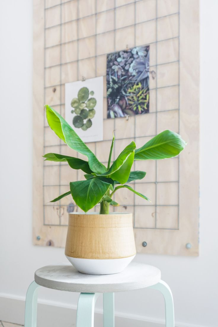 Ogreen tropicana bananenplant | Maak kans op 1 van de 3 bananenplanten