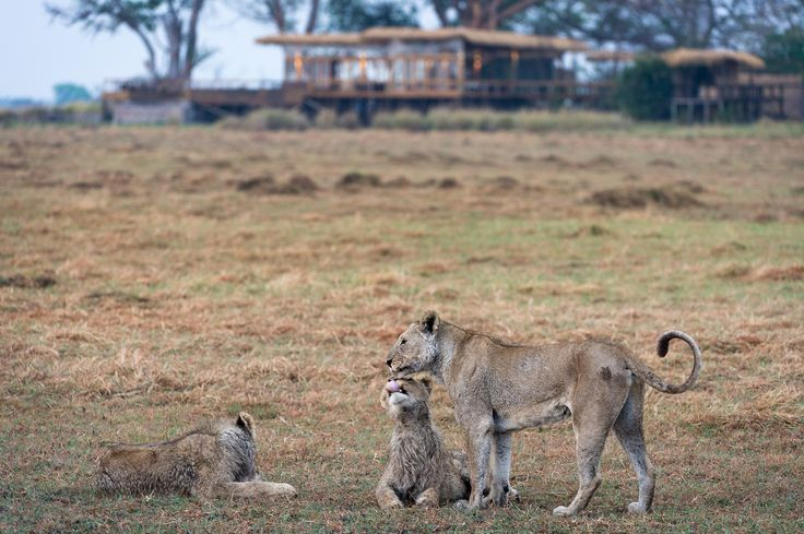 Shumba is the local word for 'lion', many of which are seen around Shumba Camp while on safari in Zanmbia's Busanga Plains.