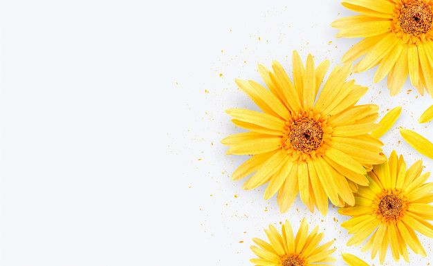 Spring Season Yellow Gerbera Flower On Free Photo Freepik Freephoto Background Banner Brochure Flower In 2020 Gerbera Flower White Background Gerbera