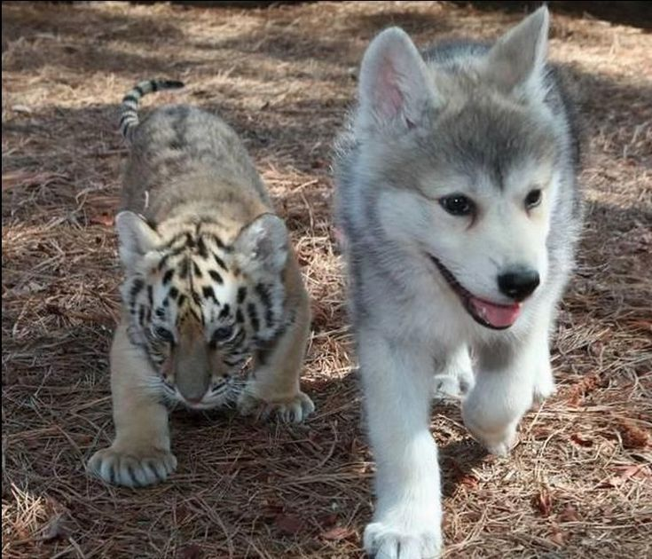 Unlikely friends.: Puppies, Best Friends, Dogs, Bestfriends, Pet, Baby Animal, Husky, Adorable, Tigers Cubs