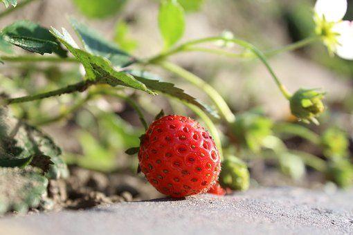 Truskawka, Czerwony, Owoców