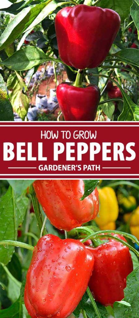 Growing bell peppers in your own garden is beyond rewarding. Sweet yet savory, crunchy, and versatile, they're delicious at breakfast, lunch, and dinner. And the amazing varieties you get to choose from when you grow your own will motivate you to keep growing bell peppers year after year. Learn more on Gardener's Path.
