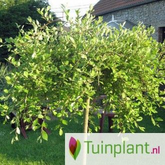 Treurwilg / Katjeswilg op stam (Salix caprea 'Kilmarnock' )