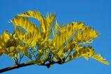 Sunburst thornless honeylocust. Zone 4-9 beautiful display of colour through the seasons - Mature height 35'