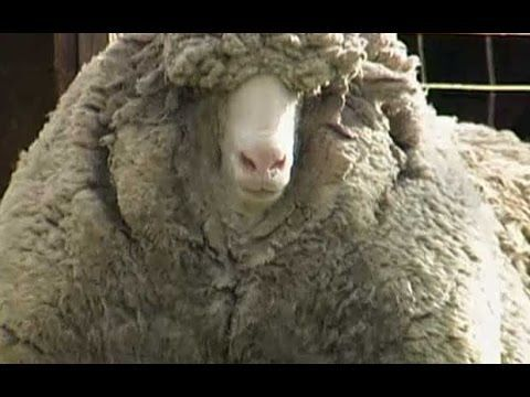 Meet Shrek the Sheep! A Famous New Zealander who refused to get a haircut:). Videos and books!