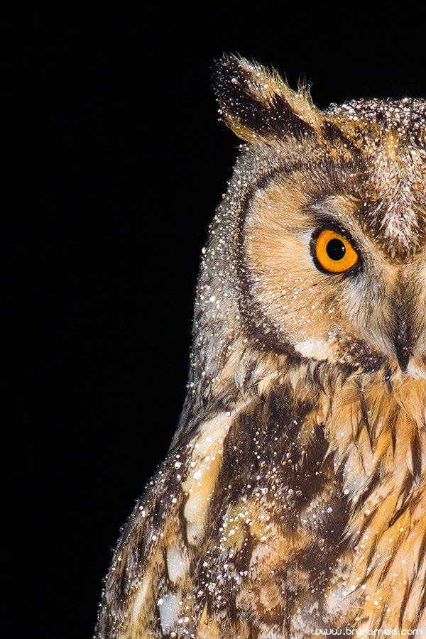 Bufo-pequeno | Long-eared Owl (Asio otus)                                                                                                                                                                                 Mais
