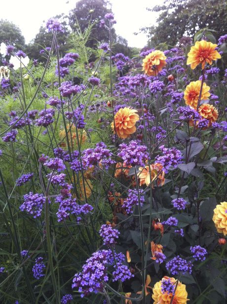 Dahlia 'David Howard' with Verbena Bonariensis