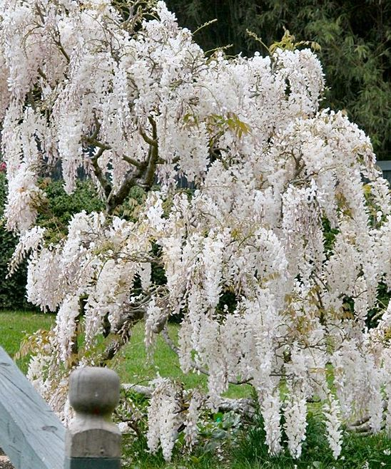 Climbers for garden - White Wisteria....... Heaven!!!!!