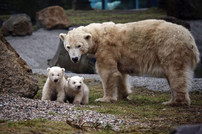 Huggies, mamma di orso polare, coccola i suoi due cuccioli gemelli mentre fanno colazione durante la loro prima apparizione pubblica allo zoo Ouwehands Dierenpark di Rhenen, in Olanda (Reuters)