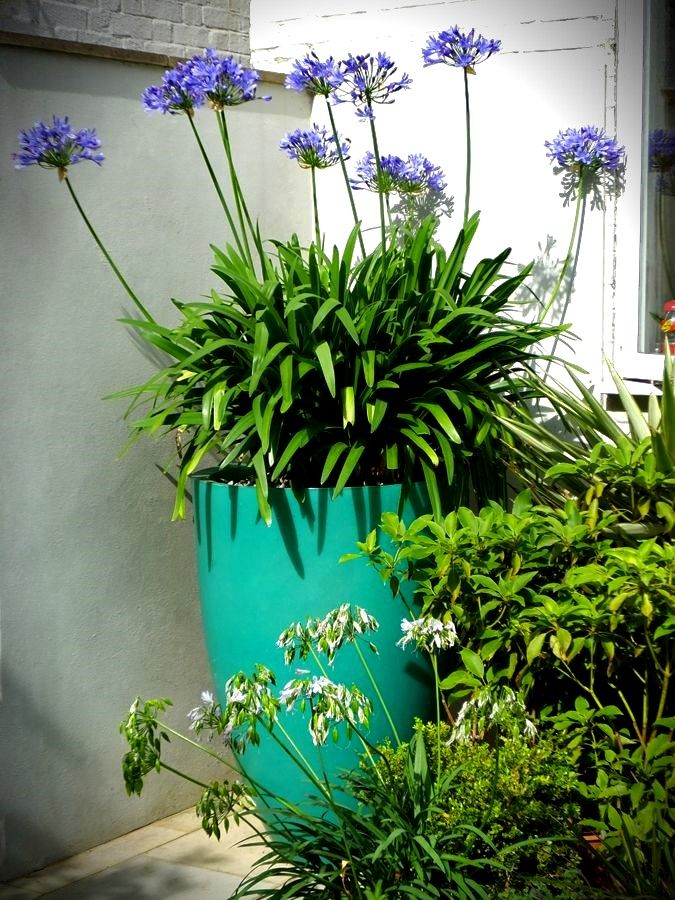 Agapanthus Or Queen Of The Nile Tropical Garden Design Agapanthus In Pots Large Flower Pots