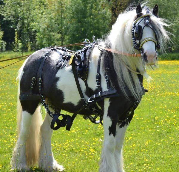 Gypsy vanner Irish Cob draft horse under harness
