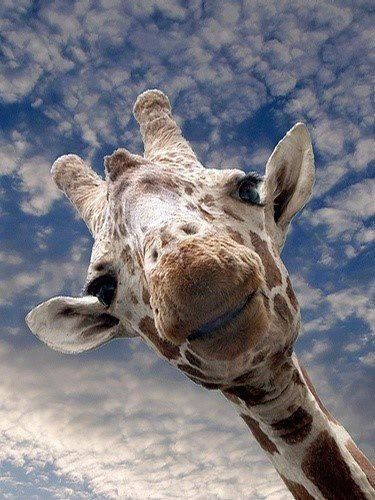 giraffes are incredible - think about it! We forget or take for granted. amazing life.