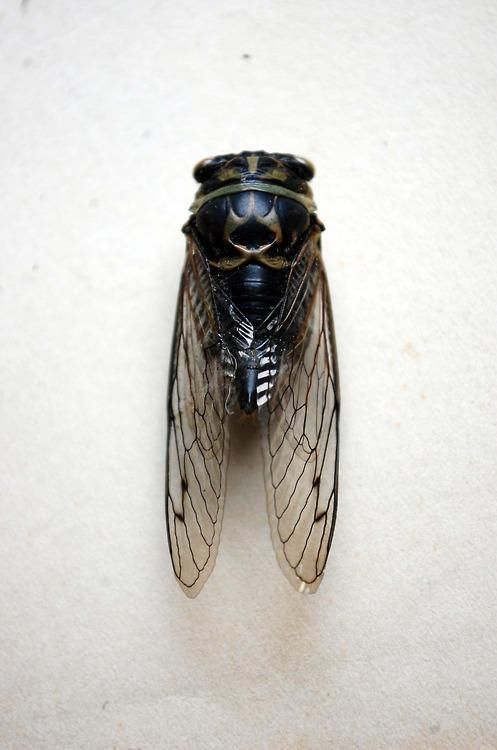 Cicada: periodical cicadas — the ones with 13- or 17-year cycles-- only live in the United States, in areas east of the Great Plains