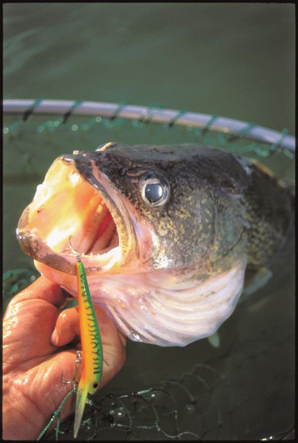 Muddy water is an occupational hardship for walleye for Walleye fishing tackle