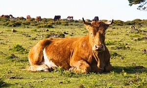 Raising the steaks: meet the elderly Spanish cows destined for dinner plates Brown cow lying in a field and looking at camera