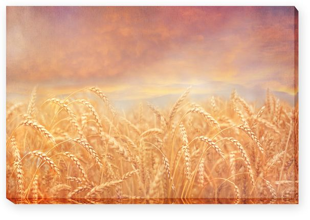 The Field is White (27x40 Canvas Wrap)