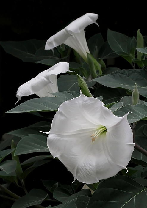 Moon Flowers Art Print By Angie Vogel Flowers Moon