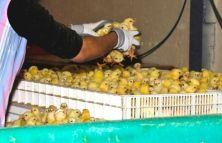 Una direttiva del Consiglio dell'Unione europea vieta, dal gennaio 2012, le gabbie di batteria. Eppure negli allevamenti intensivi gli animali destinati alla macellazione sono costretti in condizioni pessime che contribuiscono alla diffusione di malattie e forme di autolesionismo. Come testimonia un'indagine di Animal Equality