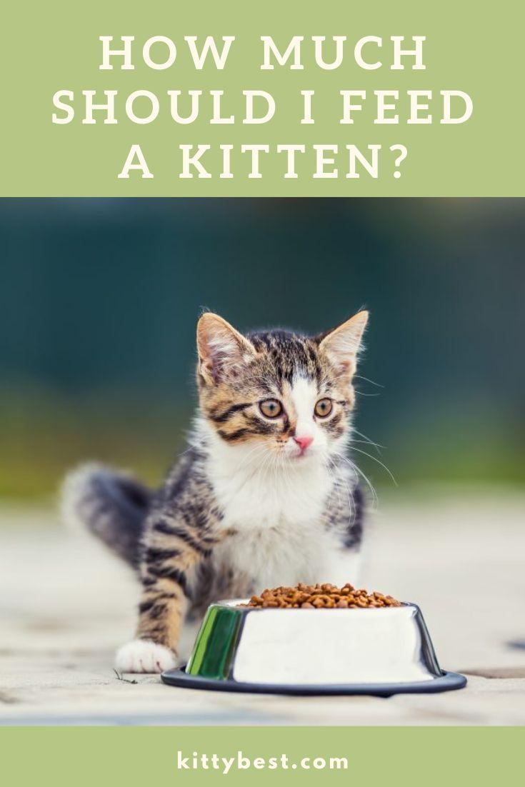 How Much Should I Feed A Kitten Kitten Kitten Food 6 Week Old Kitten