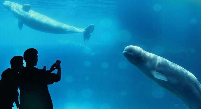 Beluga whale in Marineland