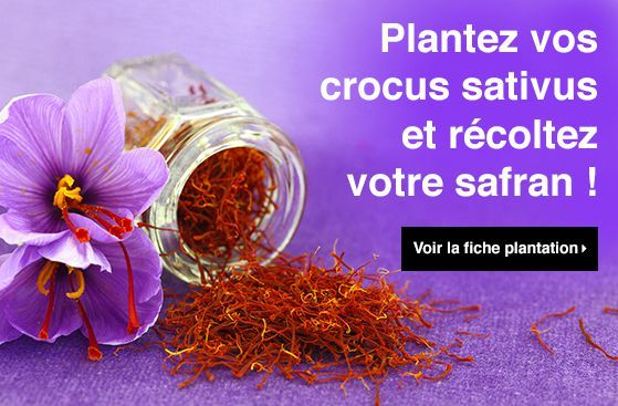 Découvrez notre fiche plantation pour planter vos crocus sativus et récolter votre safran ! Nos fiches plantation sont rédigées par des experts jardin, elles vous aideront à réussir vos plantations et à soigner au mieux vos plantes, pour un jardin en pleine santé ! #saffron #safran #crocus #jardin #crocussativus http://www.promessedefleurs.com/fiche-plantation/planter-le-crocus-a-safran