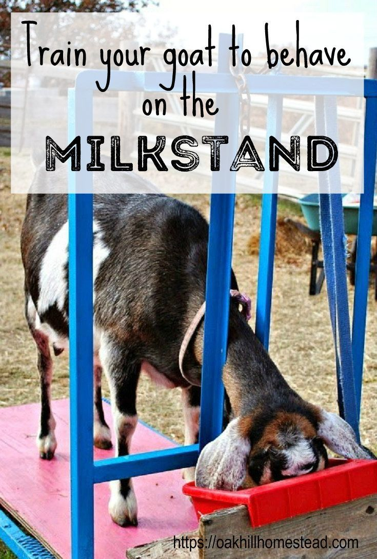 Training Your Goat to the Milkstand | Farm | Goats, Raising