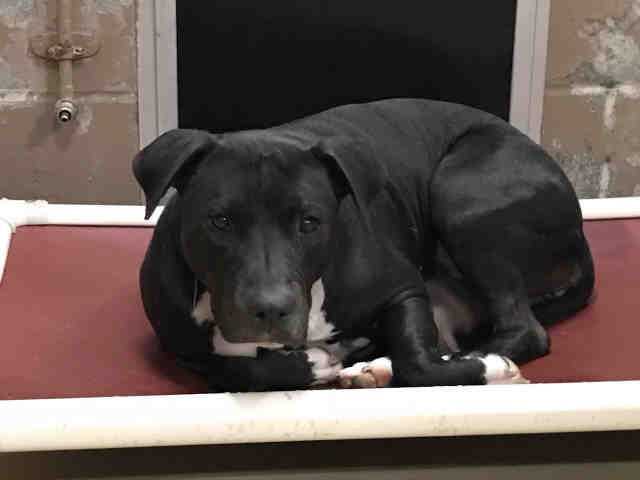 12/30/17 Houston & Harris County URGENT!!! STRAY SWEET KARA-ID #A499488 SPAYED-F-2-YR-HW-NEG-BLACK LAB MIX December 25 at 6:40pm This Girl Is Now URGENT! Can Anyone Open Their Home To Her & Either Foster Or Adopt. This Beautiful Girl Has To Be Someone's Dog. She Is Already Spayed & Heartworm Negative. CALL (281) 999-3191