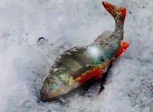 Рыбалка видео: Ловля окуня в январе