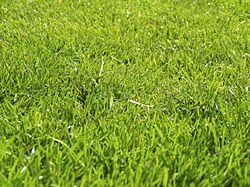 Aménager une pelouse saine