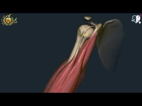 anatomia muscoli del braccio