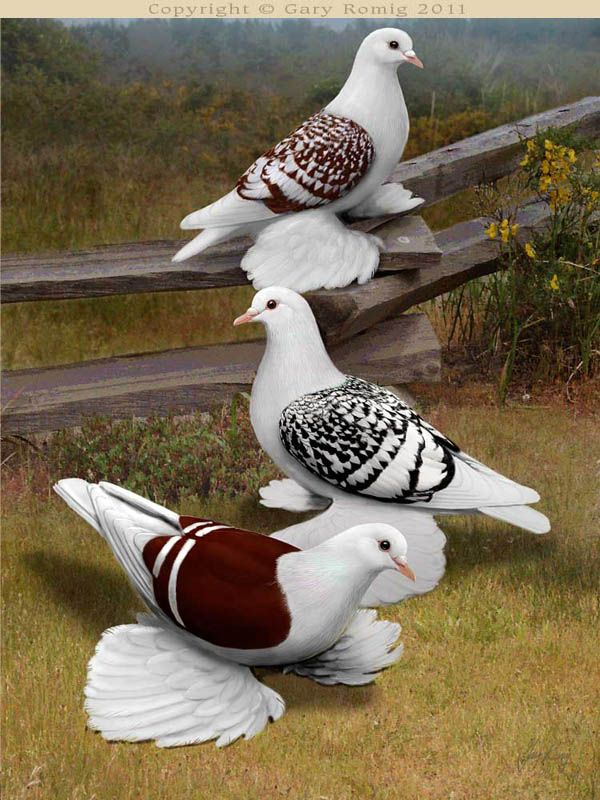 Pigeon art: Spangled Saxon Shield Pigeons by Gary Romig