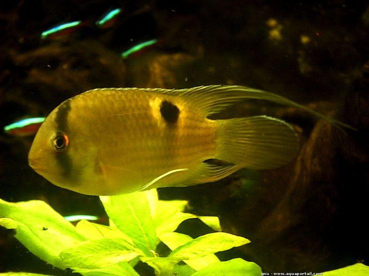 Cleithracara maronii (Acara Maroni) - AquaPortail