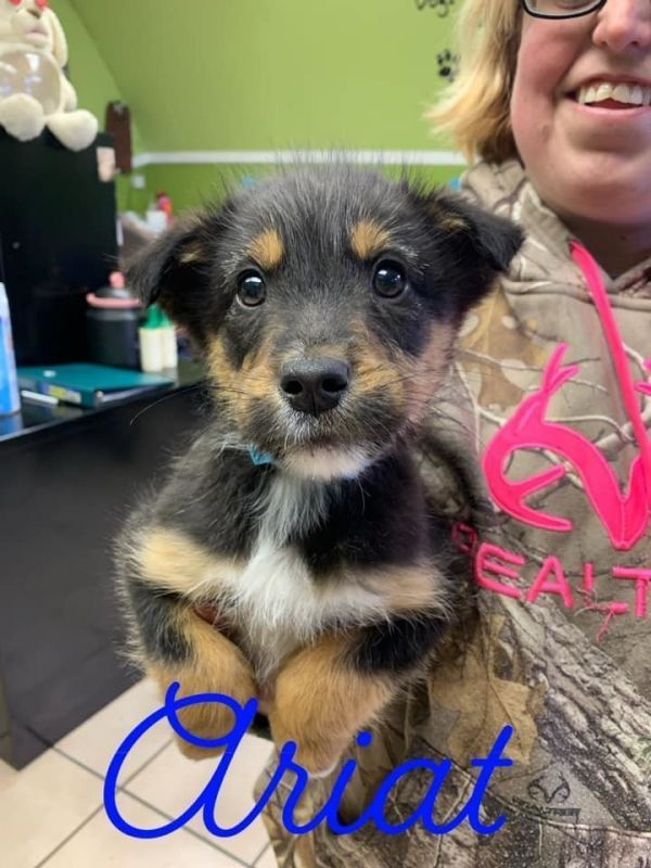 Terrier Mix Ariat Adoptable Dog Puppy Male Terrier Mix In 2020