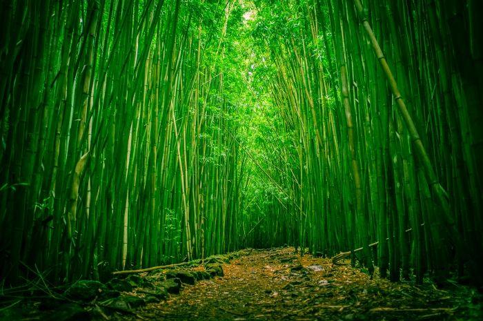 Обои на рабочий стол Природа:Бамбуковый лес, Национальный парк Халеакала, Мауи, Гавайи - скачать бесплатно.   Обои-на-стол.com
