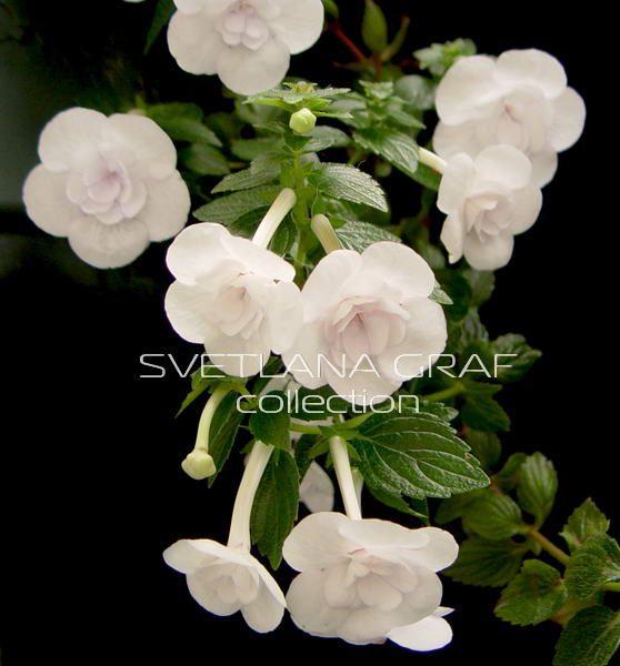 Double picotte rose