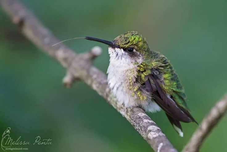 ruby red humming-birds essay Ruby red humming-birds option c: do ruby-throated hummingbirds prefer some colors more than others when visiting flowers introduction ruby throated hummingbirds are native to the north.