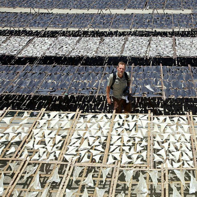 shark extinction shark finning essay Shark finning should be stopped nowadays, over 73 million of sharks of various species are being caught and killed worldwide each year due to the.