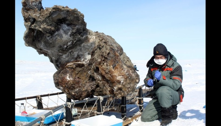 Fotos: Encuentran cadáver de mamut bien conservado. #Trome