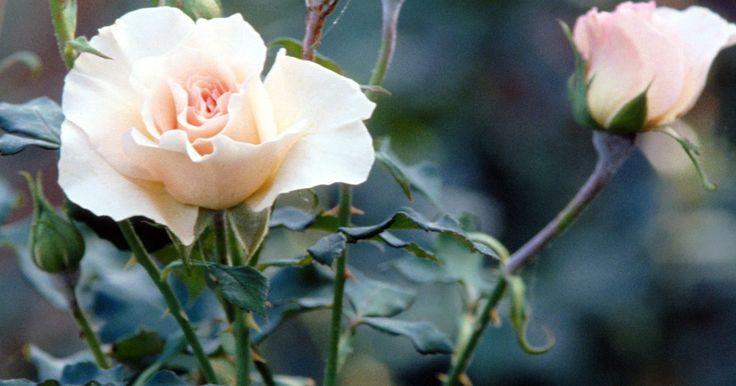 Remédios para fungos em  roseiras. As Rosas, muitas vezes chamadas as rainhas das plantas por suas grandes flores coloridas e fragrância inebriante, são notoriamente propensas à doenças de fungos. A chave para controlar surtos é a prevenção. Escolha rosas resistentes a doenças, mantenha o terreno limpo de folhas caídas, e inicie a pulverização com um fungicida orgânico ou sintético ...