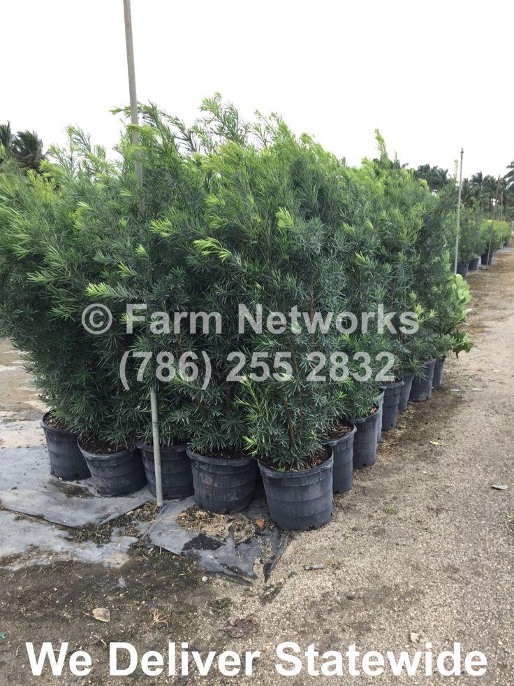 Podocarpus hedge for sale